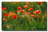 Coquelicots Transparence 01