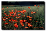Coquelicots Transparence 02