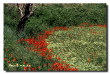 Coquelicots Courbe Rouge