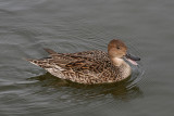 Northern Pintail; female