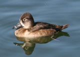 Ring-necked Duck; female