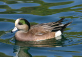American Wigeon; male