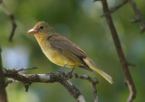 Summer Tanager; female