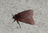 8157 - Phragmatobia lineata; Lined Ruby Tiger Moth