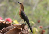Great-tailed Grackle; female