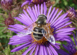 Eristalis Syrphid Fly species