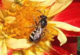 Halictus Sweat Bee species