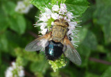 Archytas Tachinid Fly species