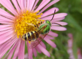 Agapostemon Sweat Bee species