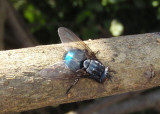 Cynomya cadaverina; Blow Fly species