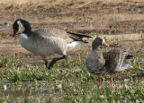 Canada and Greater White-fronted Geese