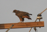Red-tailed Hawk; dark morph