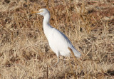 Cattle Egret; basic