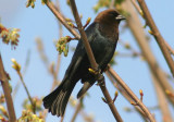 Brown-headed Cowbird; male