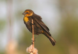 Yellow-headed Blackbird; female