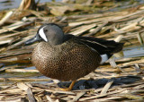 Blue-winged Teal; male