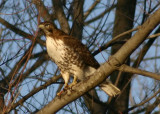 Red-tailed Hawk; immature