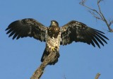 Bald Eagle; 1st year