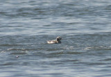 Long-tailed Duck; basic female