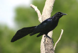 Great-tailed Grackle; male