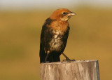 Yellow-headed Blackbird; juvenile