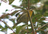 Puerto Rican Spindalis; endemic