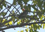 Puerto Rican Flycatcher; endemic