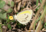 Elathea Yellow
