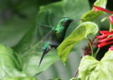 Puerto Rican Emerald; male; endemic