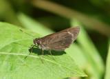 Cymaenes tripunctus; Three-spotted Skipper