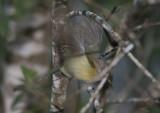 Puerto Rican Vireo; endemic