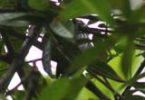 Elfin-woods Warbler; endemic