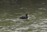 Black Scoter; first year male