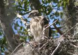Red-shouldered Hawk; juvenile on nest