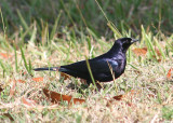 Shiny Cowbird; male