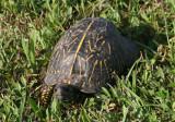 Florida Box Turtle