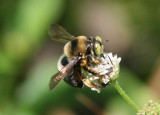 Xylocopa micans; Southern Carpenter Bee; male