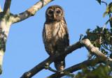 Barred Owl; juvenile