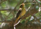 Scarlet Tanager; female