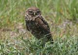 Burrowing Owl; juvenile