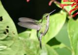 Puerto Rican Emerald; female; endemic