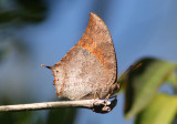 Puerto Rican Leafwing