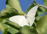 Giant White