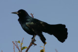 Boat-tailed Grackle; male