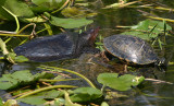 Florida Softshell (left) and Peninsula Cooter