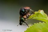 Phyllopertha horticola / Rozenkever / Garden chafer