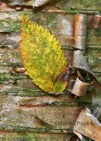 Leaf and Bark