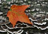 Leaf and Fungi