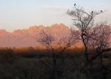 White-winged doves enjoying sunset on Organ Mountains
