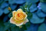 Portland Japanese rose garden 02